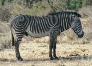 У зебры член